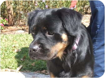 Bernese Mountain Dog Mix Dog for adoption in Orlando, Florida - Weber