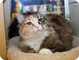 Calico Cat for adoption in Irvine, California - Cherry