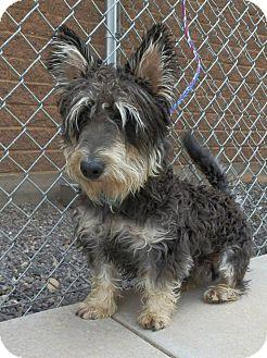 Schnauzer (Miniature)/Corgi Mix Dog for adoption in Ogden, Utah - Ryan Miniature Schnauzer Utah