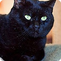 Domestic Shorthair Cat for adoption in Milwaukee, Wisconsin - Tazz