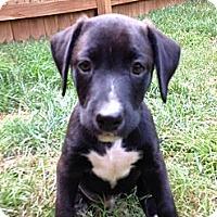 Adopt A Pet :: Boom Boom Pow - Atlanta, GA