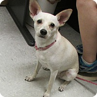 Adopt A Pet :: Bella - Gilbert, AZ