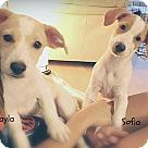 Adopt A Pet :: Sofia - mini lab/golden/hound