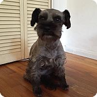 Adopt A Pet :: Tippy - Redondo Beach, CA