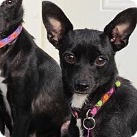 Adopt A Pet :: TOOTIE BUG - Bedminster, NJ