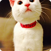 Adopt A Pet :: Snowflake-Found In Blizzard - Arlington, VA