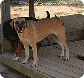 Mountain Cur/Labrador Retriever Mix Dog for adoption in Groton, Massachusetts - Allie