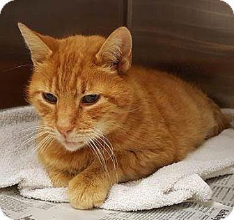 Oriental Cat for adoption in Herndon, Virginia - Marlon-URGENT