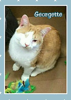 Domestic Shorthair Cat for adoption in Atco, New Jersey - Georgette