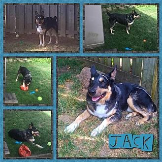 Australian Shepherd/Australian Cattle Dog Mix Dog for adoption in Toronto, Ontario - Jack