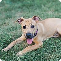 Adopt A Pet :: Cookie - Dayton, OH