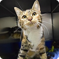 Domestic Shorthair Cat for adoption in Canastota, New York - Pebbles