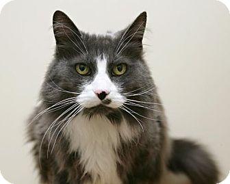 Domestic Mediumhair Cat for adoption in Bellingham, Washington - Max