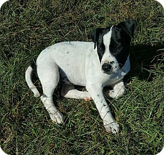 Pointer Mix Puppy for adoption in East Windsor, Connecticut - Daisy-adoption pending