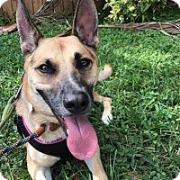 Shepherd (Unknown Type) Mix Dog for adoption in Ft. Lauderdale, Florida - Mason