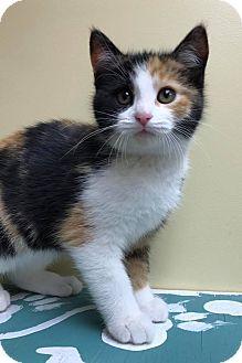 Domestic Shorthair Kitten for adoption in Maryville, Missouri - Rikki