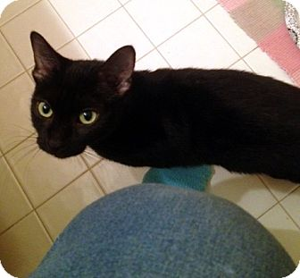 Domestic Shorthair Cat for adoption in Fowlerville, Michigan - Margo