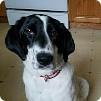 Adopt A Pet :: Miley-adoption pending - Schaumburg, IL
