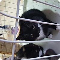 Adopt A Pet :: Ivy - San Tan Valley, AZ