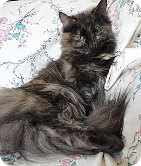 Domestic Longhair Cat for adoption in Stuart, Virginia - Carmelo