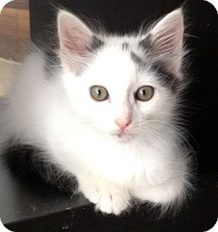 Domestic Mediumhair Cat for adoption in Los Angeles, California - Milton-video!