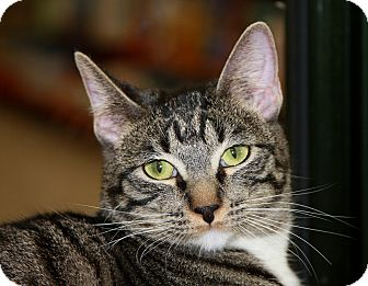 Domestic Shorthair Cat for adoption in Phoenix, Arizona - Boots II