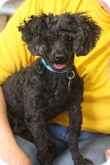 Poodle (Miniature) Mix Dog for adoption in Marietta, Georgia - Florene