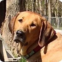 Adopt A Pet :: Sheba - Cape Girardeau, MO