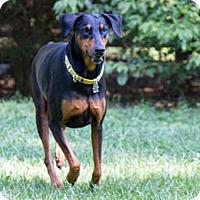 Adopt A Pet :: Zeeva - Greensboro, NC