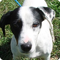 Adopt A Pet :: Patch - Erwin, TN