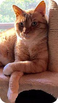 Domestic Shorthair Cat for adoption in Valley Park, Missouri - Wyatt