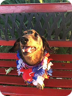 Dachshund Mix Dog for adoption in Marcellus, Michigan - Benny-Adoption Pending