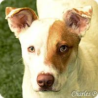 Adopt A Pet :: Cody - Burlingame, CA