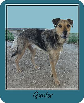 Catahoula Leopard Dog/Airedale Terrier Mix Dog for adoption in Hillsboro, Texas - Gunter