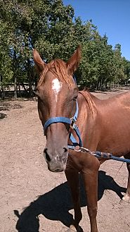 Quarterhorse Mix for adoption in Hitchcock, Texas - Mamie