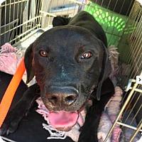Adopt A Pet :: Forrest - Seattle, WA