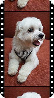 Bichon Frise/Maltese Mix Dog for adoption in Tulsa, Oklahoma - Adopted!!Charliee - KS
