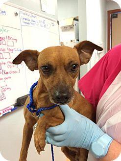 Dachshund Dog for adoption in Weston, Florida - Hendrix