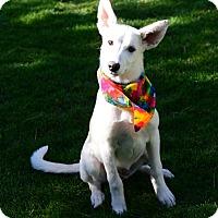 Husky Puppy for adoption in Gardnerville, Nevada - Klondike