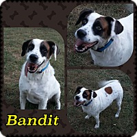 Adopt A Pet :: Bandit - Lexington, KY