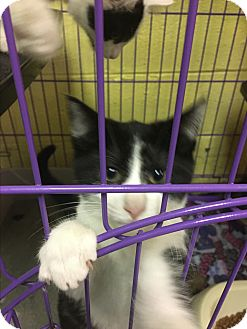 Domestic Shorthair Kitten for adoption in Richboro, Pennsylvania - Pongo