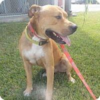 Staffordshire Bull Terrier Dog for adoption in Rosenberg, Texas - A009085
