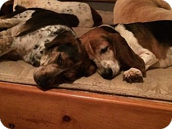 Beagle/Bluetick Coonhound Mix Dog for adoption in Kittery, Maine - Gilligan