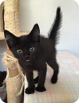 Domestic Mediumhair Kitten for adoption in Edina, Minnesota - Broomstick C160343: PENDING ADOPTION