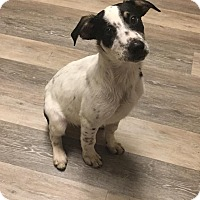Adopt A Pet :: Roxy Boy 4 - Hayes, VA