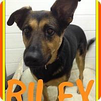 Adopt A Pet :: RILEY - Mount Royal, QC
