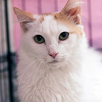 Domestic Longhair Cat for adoption in Encino, California - Timmy