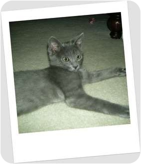 Russian Blue Kitten for adoption in Hurst, Texas - Skeeter-the royal feline!
