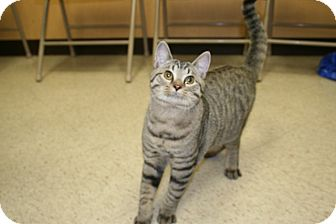 Bengal Cat for adoption in Spring Valley, New York - Prancer