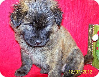 German Shepherd Dog/Boxer Mix Puppy for adoption in Sherman, Connecticut - Bruiser Betty's Dog